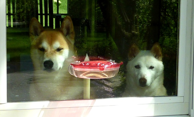 "Our Two Shiba Inus, ""Inu"" and ""Ama"", at the Hummingbird Feeder"
