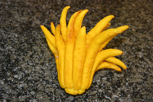 "The Fingered Citron (""Buddha's Hand)"