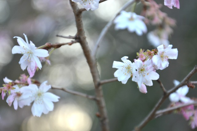 Did You See the Cherry Blossoms This Week?