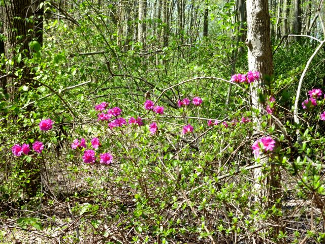 Only a Few Flowers on this Bush in the Woods at Fair Haven Fields