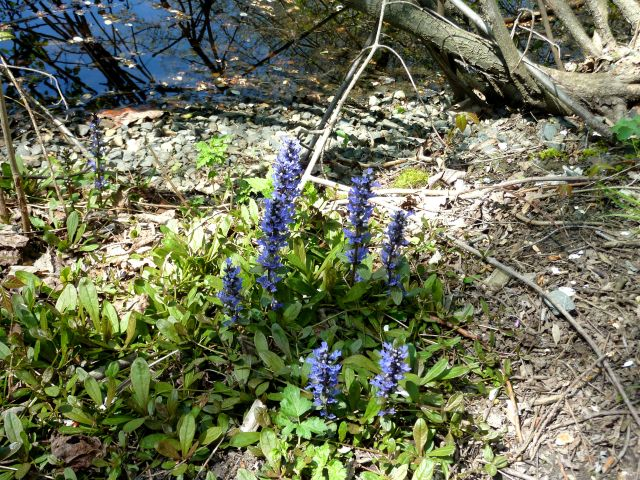 Flowers at the Edge of Dery's Pond